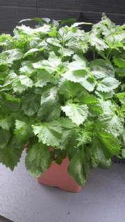 大葉の鉢植え